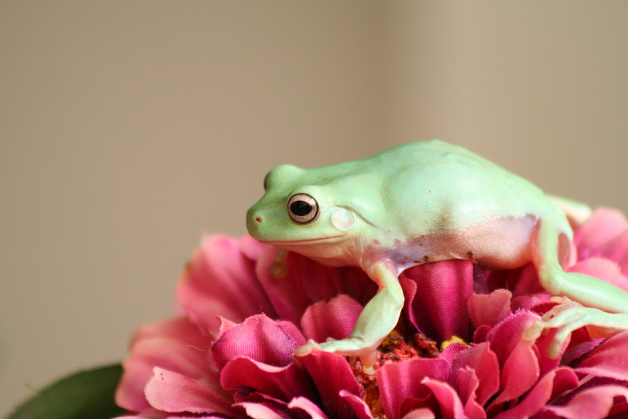 Baby Tree Frogs For Sale Baby White's Tree Frog